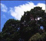 イブキ樹叢