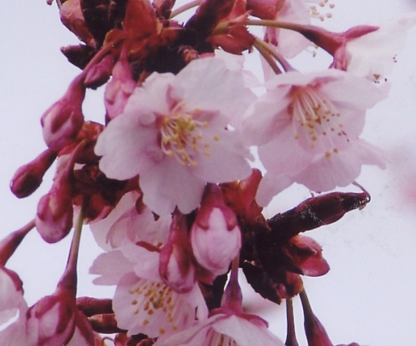 日立紅寒桜(アップ)