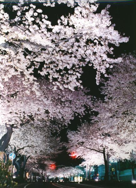 平和通り 夜桜