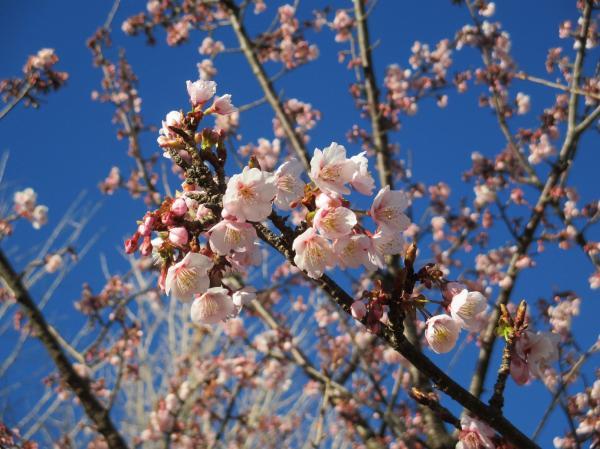 紅寒桜(かみね公園)
